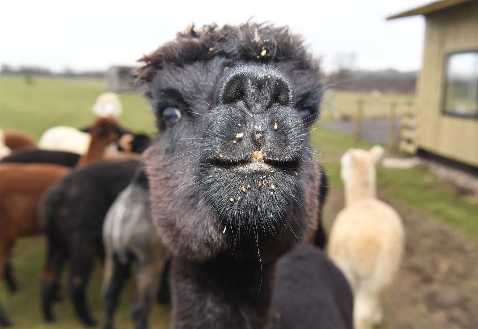 Alpaca fundraising brings fame not to be sniffed at