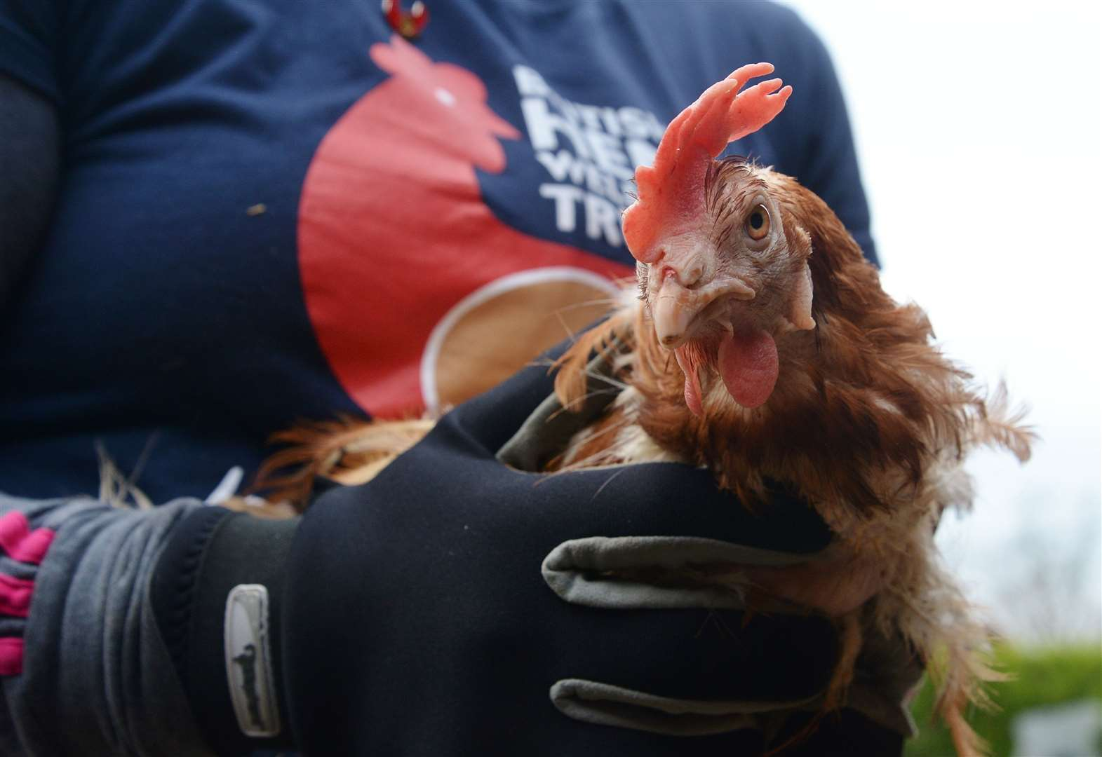 Hens that would otherwise be destined for slaughter need a home